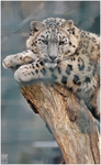 Animals - Snow leopard by NFB-Fotografien