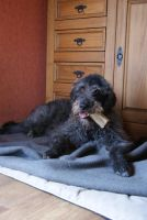 Labradoodle by gaothaire