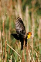 Yellow Headed Black Bird by Ironpaw