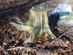 tree stump stock 1 by dark-dragon-stock