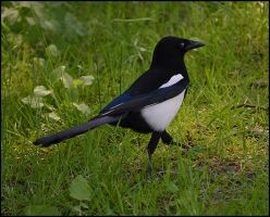 Magpie1 by FrankAndCarySTOCK