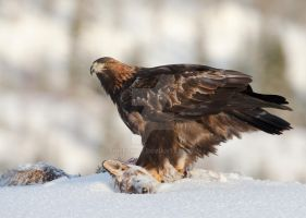 Golden Eagle Light by joeelway