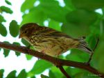 Corn bunting by Jorapache