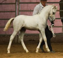 STOCK - 2014 Welsh QLD Show-127 by fillyrox