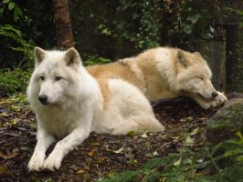 Arctic Wolves 3 by xCrystals