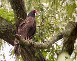 Turkey Vulture 3 by EdgedFeather