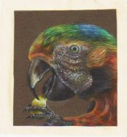 Macaw on Black by ZOMGwingly
