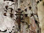 Brown Dragonfly on Wood by Mogrianne