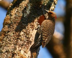 Northern Flicker III by natureguy