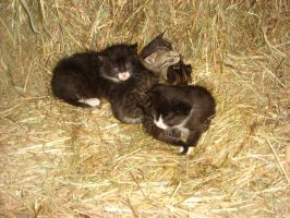 baby kittens 2 by LOST09