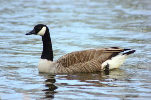 Great Canadian Goose by JetteReitsma