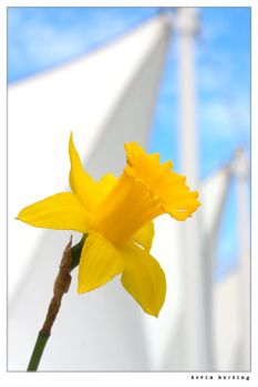 daffodils at the sails by harbours-of-light