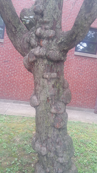 Knotty Tree (1) by TheQueenofNerds