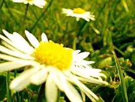 Daisies Upclose by Fusions2