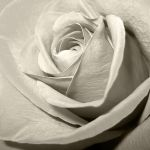 Ivory Elegance by pensive-painter