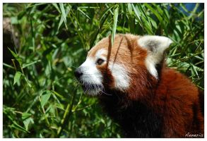 Red Panda by Breizhbleiz