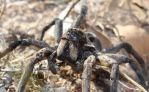 Angry Wolf Spider by Mr-Aerospace