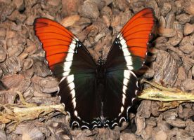 Butterfly by SolStock