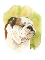 Vladimir - English Bulldog by saraquarelle