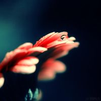 the magic of gerbera. by simoendli