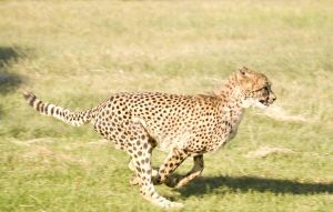 Cheetah at full sprint by alecd