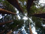 Sequoia by InfinityandOne