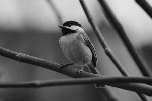 chickadee in monochrome by Laur720