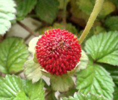 strawberry flower_3_ by Morvarid26