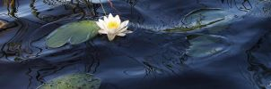 white water lily flower by Henu96