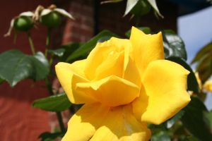 yellow rose stock2 by Aragwen-stock