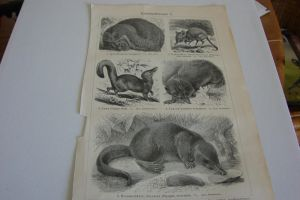Lithograph FOR SALE or TRADE: insectivores by Lot1rthylacine