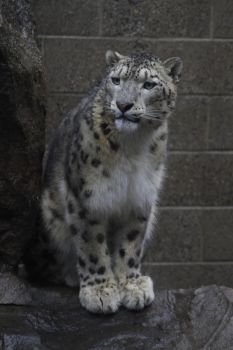 Snow Leopard 38 by CastleGraphics