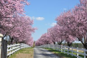 Pink Blooming Trees 2 by FairieGoodMother