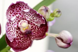 Orchid flowers 4 by a6-k