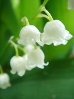 Lily of the valley by monocerosh