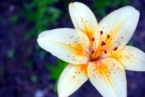 Lily FLower by ceejayphotos