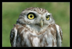 Little Owl - Athene noctua II by invisiblewl
