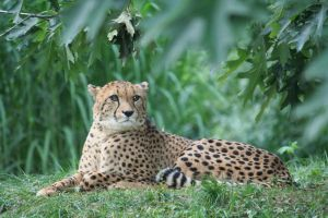 cheetah in cologne Zoo 2 by ingeline-art