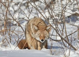 Coyote-Squint by JestePhotography