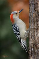 RedBellied Woodpecker by DGAnder
