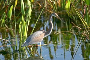 Wading VW Tricolor Heron by Kippenwolf