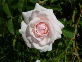 Pale Pink Rose by Zsantz