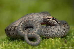 23.Polish snake by Bullter