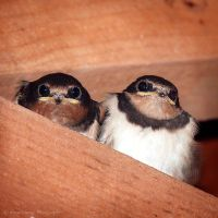 Swallow Fledglings by FreyaPhotos