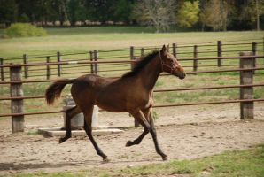 StandieFoal8 by EquestrianPassion