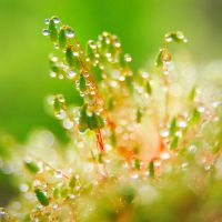 Dew on moss by JukkaBjorn