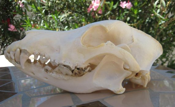 Domestic dog skull by Ratrinadragon