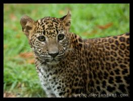 young leopard by morho