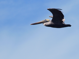 Adult Brown Pelican by photographyflower