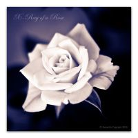 X-Ray of a Rose by geko78